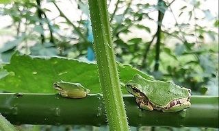 two frogs.jpg